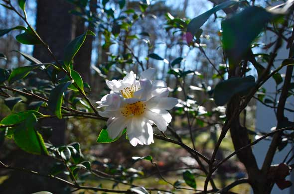 A perfect, unnamed camellia flower catches the light.