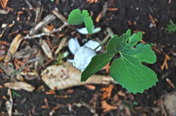 Sanguinaria canadensis 'Plena' - Bloodroot (double)