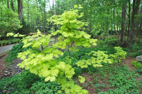 Acer shirasawanum 'Aureum' - Golden Full Moon Maple