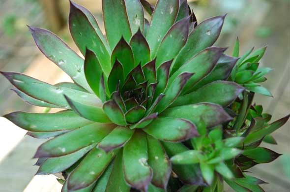 Sempervivum 'Black'
