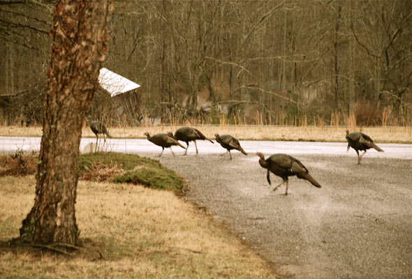 turkeys,-winter_mmtn