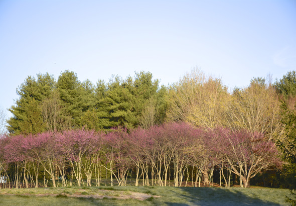 Roadside grouping of redbud